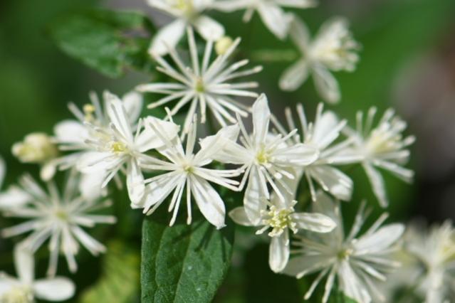 キンポウゲ科のボタンヅル Clematis apiifolia -05
