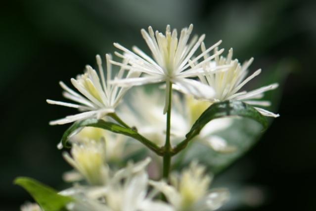 キンポウゲ科のボタンヅル Clematis apiifolia -06