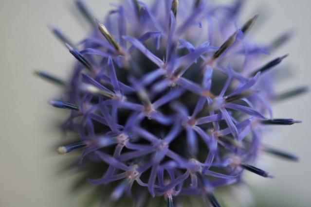最後の花・・・ルリタマアザミ-05