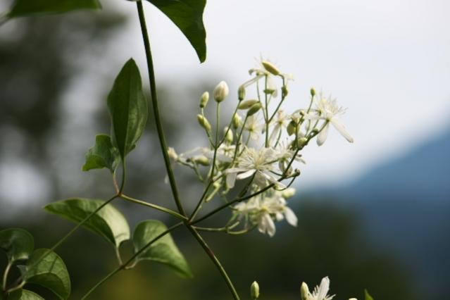 センニンソウ Clematis terniflora -02