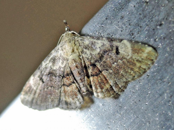 ヒメエビイロアツバ