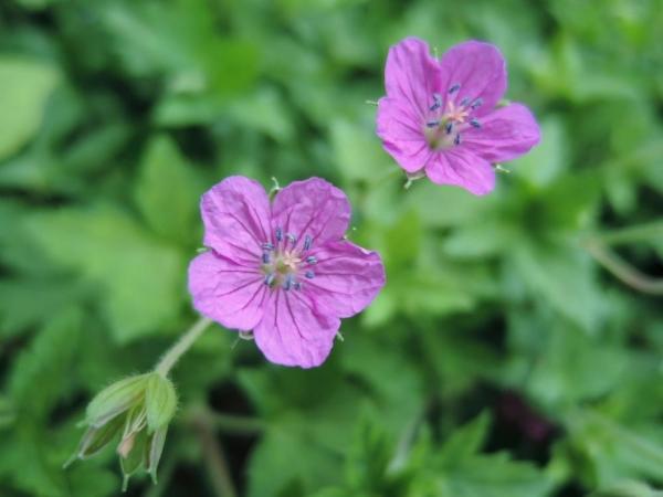 フウロソウ科の植物