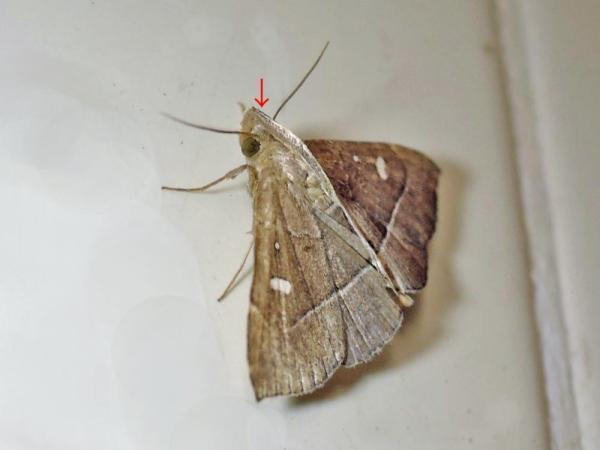 ハナオイアツバ