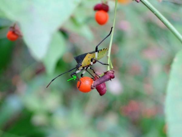 ニシキギの実の汁を吸うキバラヘリカメムシ