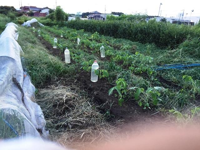 草刈りを終えた大豆畑