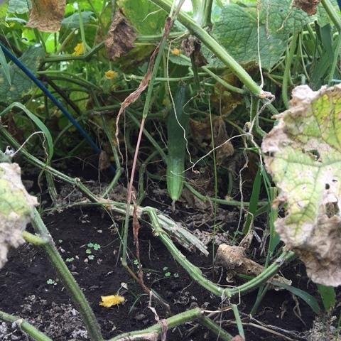 地這いキューリは葉の下