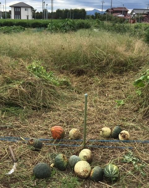 カボチャ畑の片付けと収穫