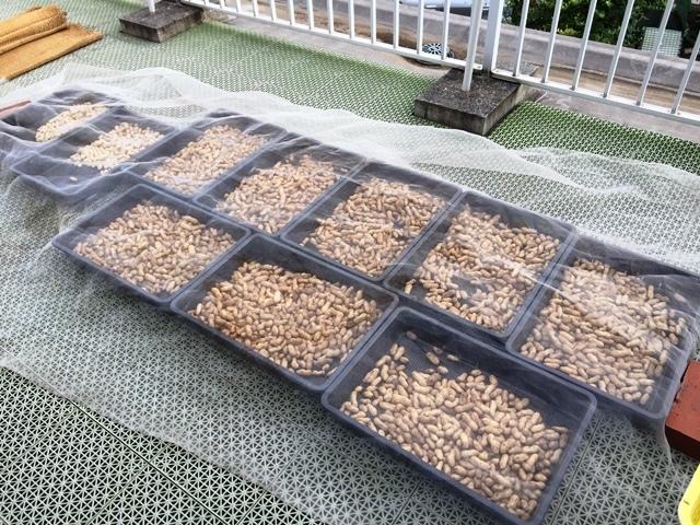 本日収穫した落花生10kgの天日干し