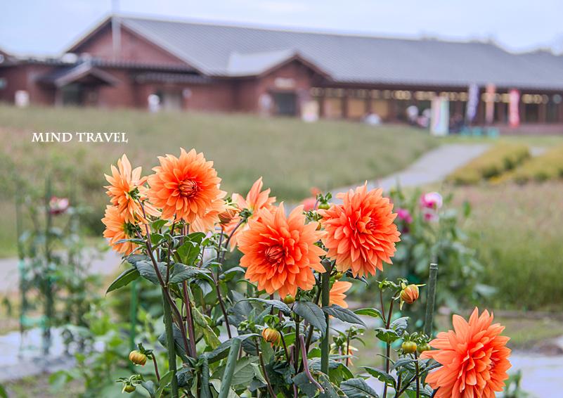 箱館山 オレンジ色のダリア