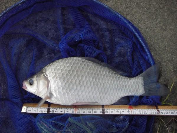 中川 フナ 26cm ダンゴ