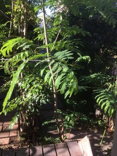 では「みどりの日」なので庭の緑(ネムノキ)を観て出掛けました。。。