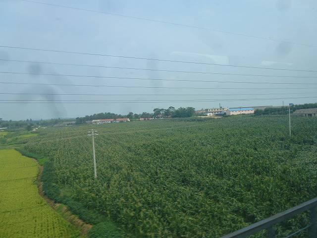 とうもろこし畑とたんぼ
