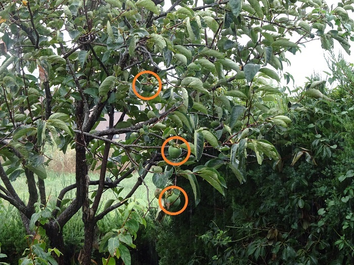 渋柿干ばつ