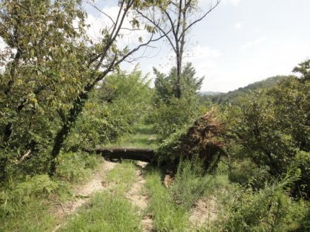 ポプラの巨木倒れる