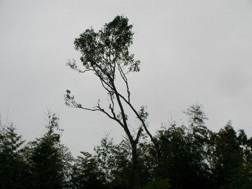 201809081338クヌギの大木