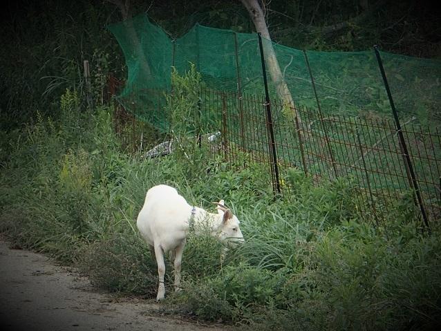 三原では、ヤギは放し飼い