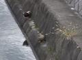 疎水の鴨(骨休め)