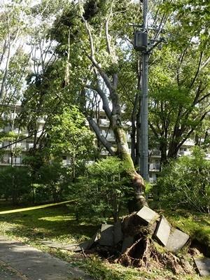 団地内の倒木1809