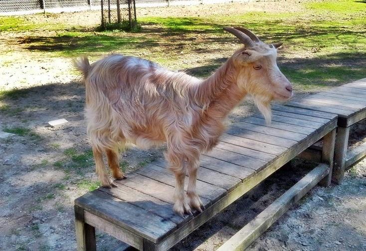 141714-2018山羊のチーズ⑤