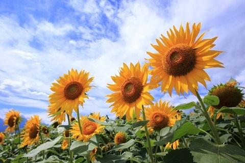 180830 ひまわり花