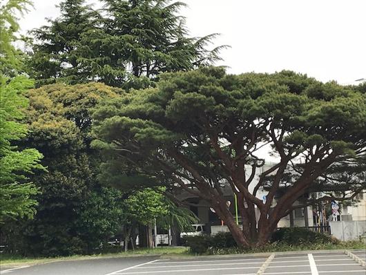 松沢病院の木