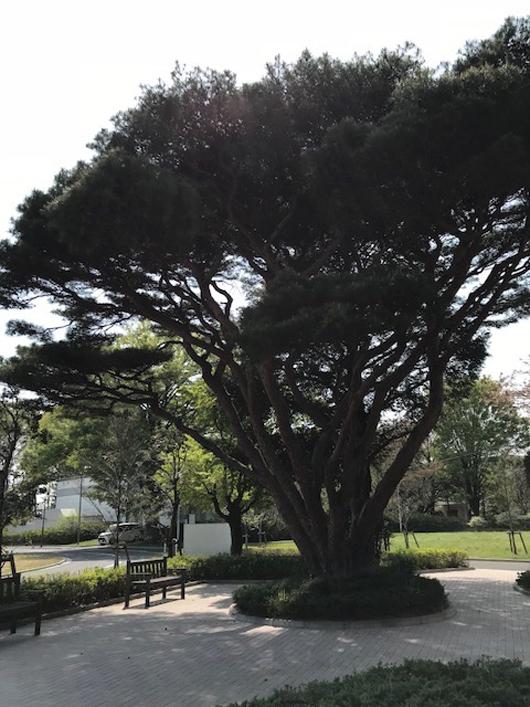 松沢病院の木2