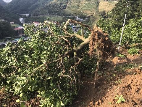 根こそぎ倒れたみかんの樹(その1)