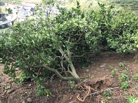 根こそぎ倒れたみかんの樹(その2)