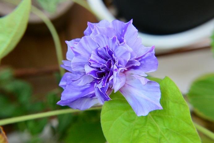 18藤紫牡丹咲_1948a