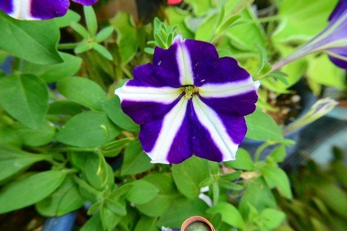 18青紫ペチュニア_1986a