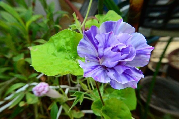 18藤紫吹雪牡丹_1985a