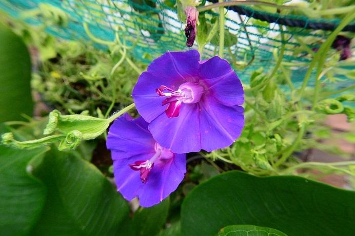 18黄縮緬葉紫雀咲_2085a