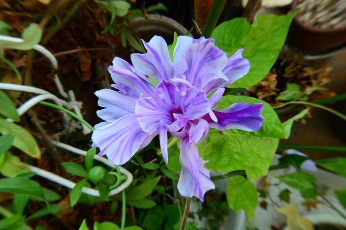 18藤紫吹雪牡丹_2204a