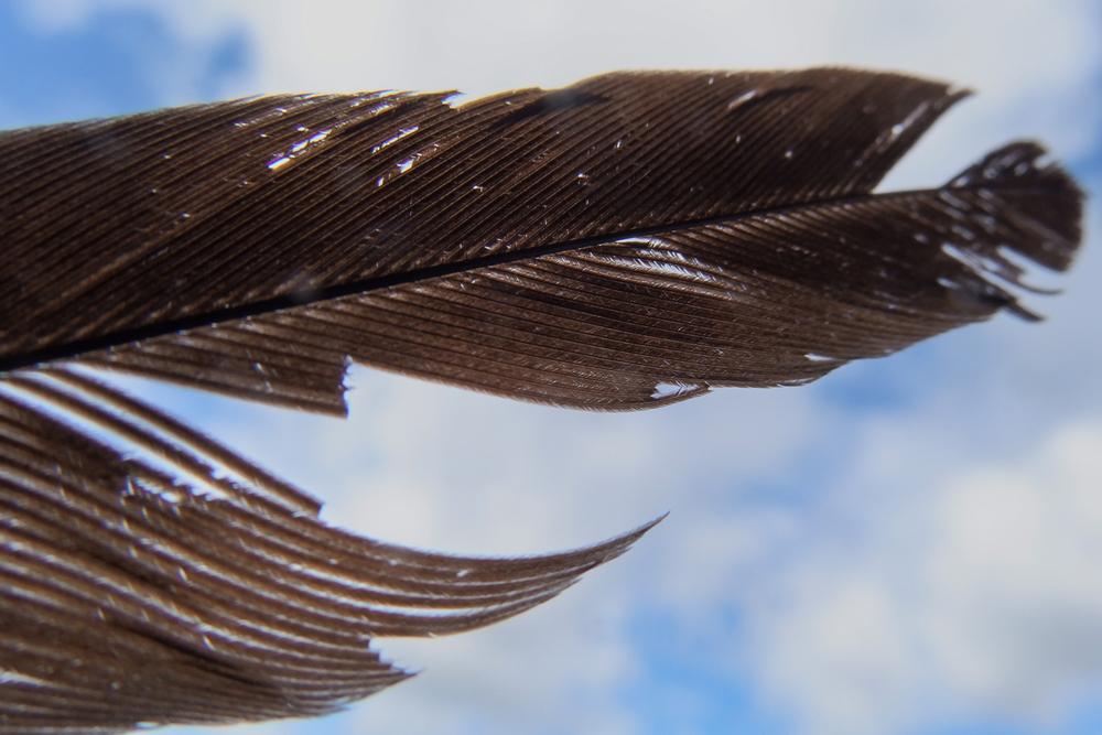サンコウチョウ尾羽根