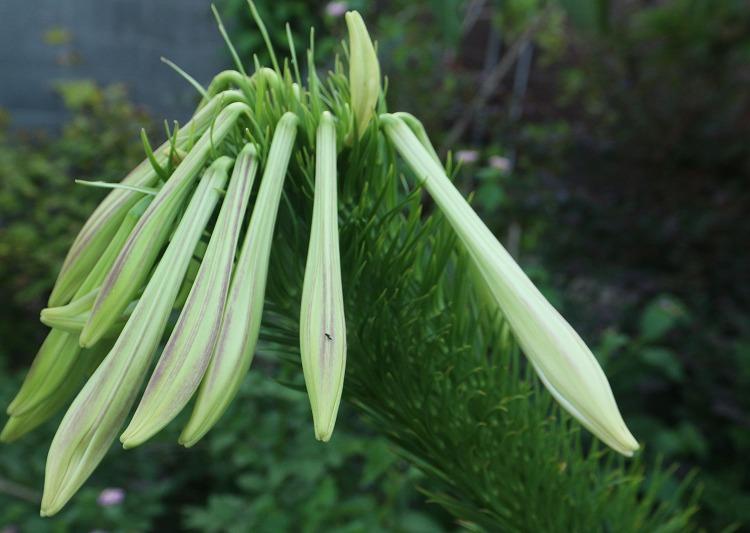 凄い逞しい高砂百合の花 30 8 23