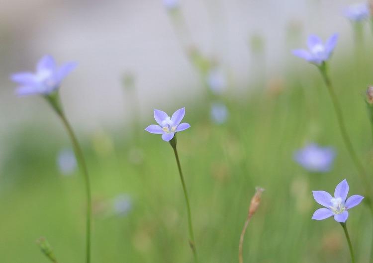ヒナギキョウが咲いて 30 8 22