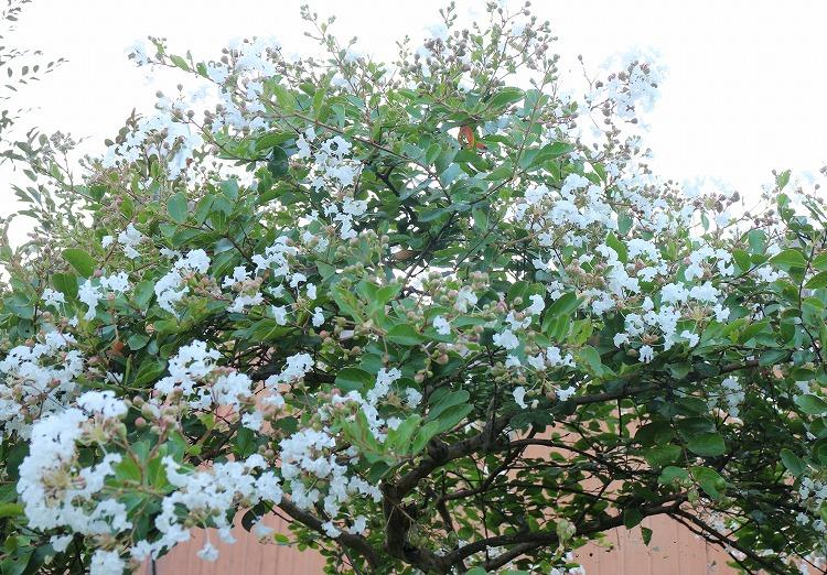 サルスベリ白 木 30 8 24