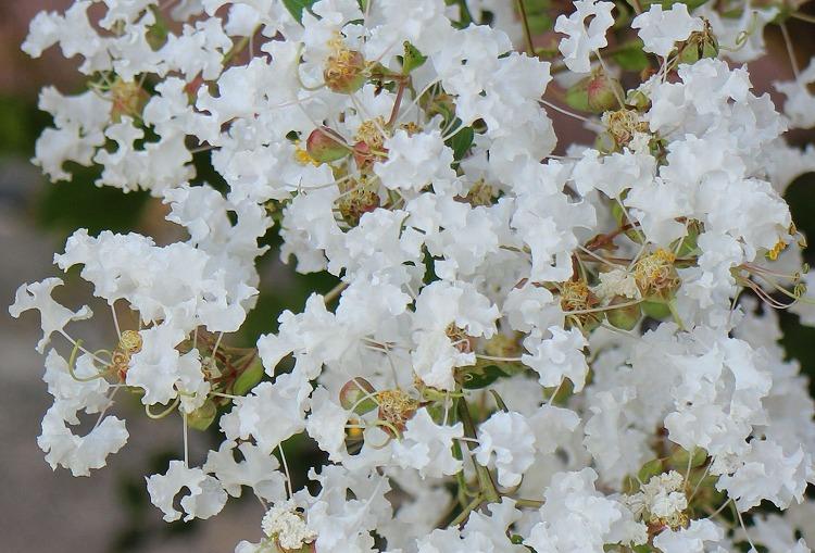 サルスベリ 白色花 30 8 24