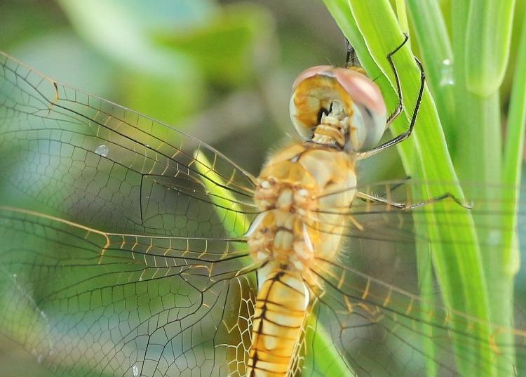 しっかり掴まってる薄羽黄蜻蛉 30 8 24