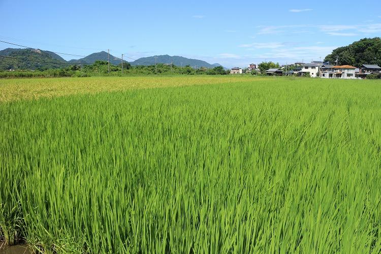 横の田んぼの稲 30 8 25