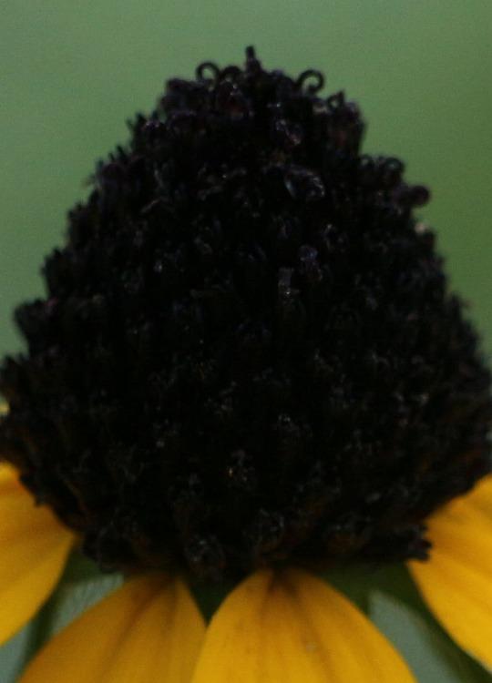 ルドベキアタカオ 花の中だけ 30 8 28