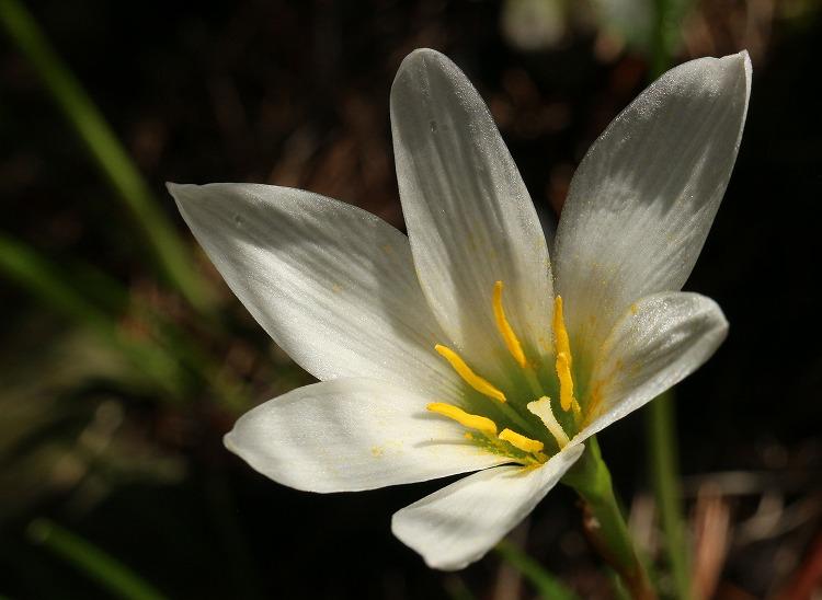 タマスダレの花白色 30 9 16