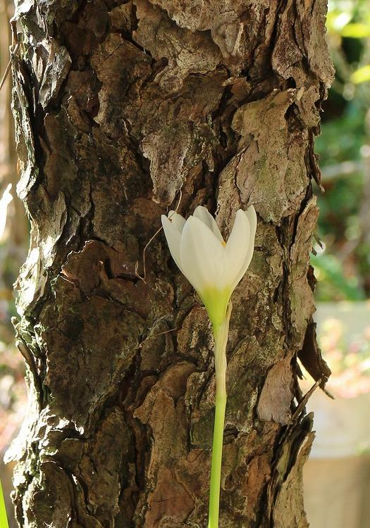 タマスダレ 松の木により掛かって 30 9 16