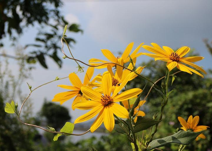 菊芋の花を横に切り取り 30 9 18