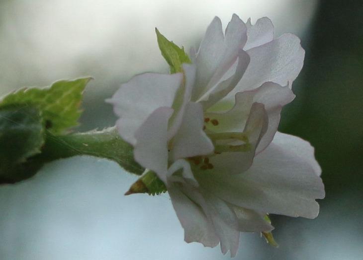 十月桜 咲き始め 30 9 19
