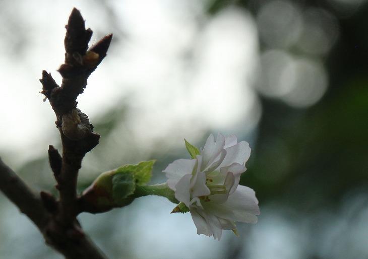 十月桜 チラホラ 30 9 19