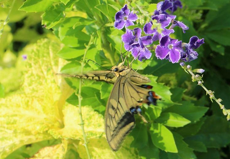 善病屋上花壇にキアゲハ 30 9 21