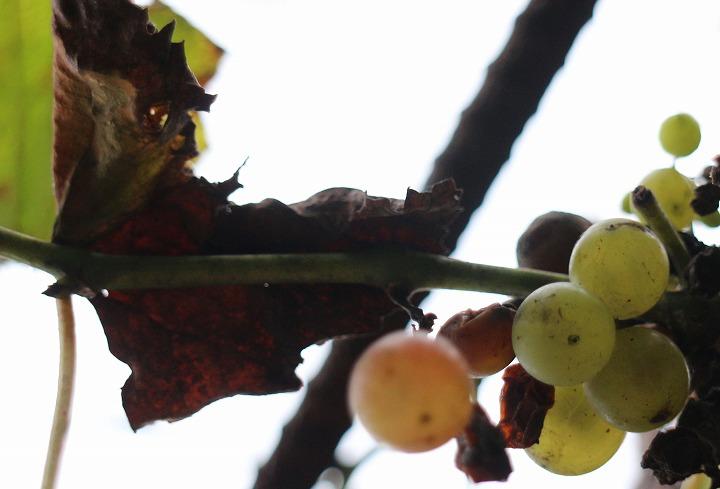 庭の葡萄 30 9 28
