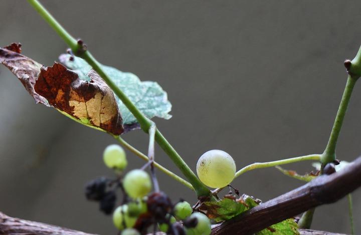 甘い葡萄もある 30 9 28