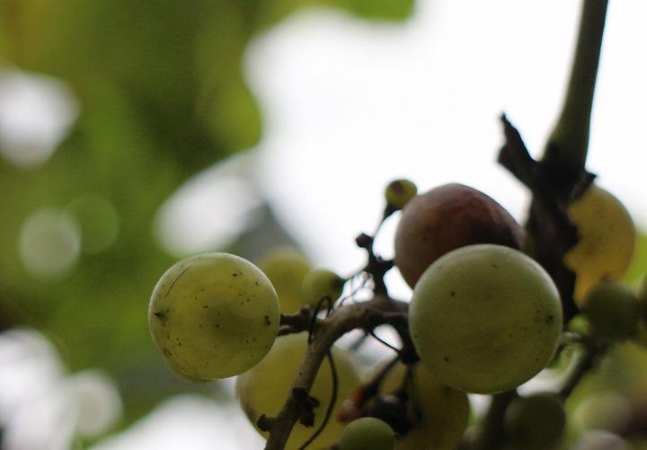 玄関前に葡萄 30 9 28